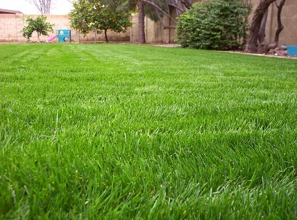 Growing Bermuda Grass and Rye Grass In Phoenix Arizona
