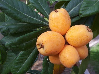 Loquat Fruits - Big Jim