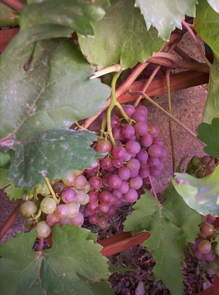 Phoenix Arizona Grapes