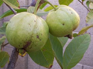 Tropical Guava Fruit
