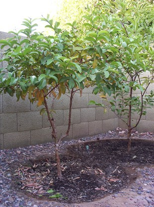 Tropical Guava Tree