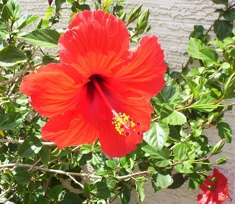 Growing Tropical Hibiscus In Phoenix Arizona H Rosa Sinensis