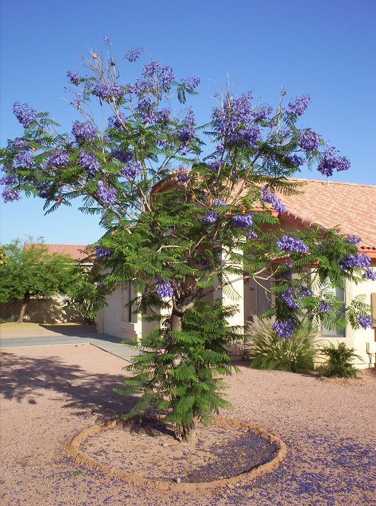 Jacaranda Tree In Phoenix Arizona