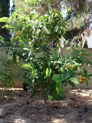 Loquat Tree - Big Jim