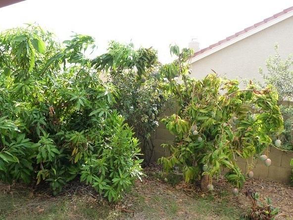Mango Grove In Phoenix Arizona