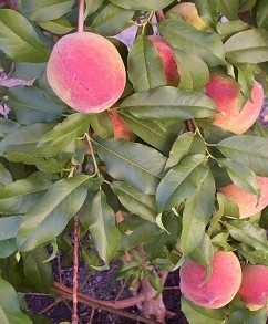 Earli Grande Peach Tree