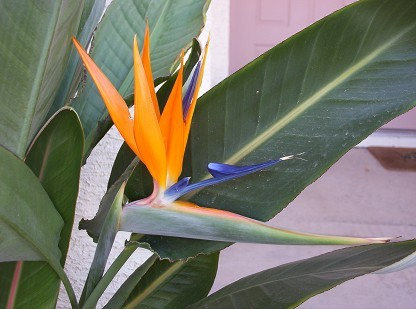 Growing the tropical bird of paradise flower in phoenix arizona tropical bird of paradise flower mightylinksfo